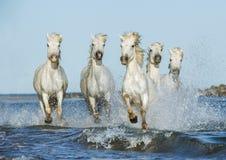 Vita hästar som galopperar i vattnet royaltyfri fotografi
