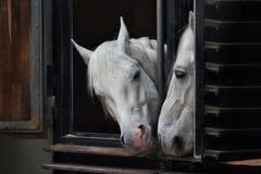 Vita hästar som ut ser fönsterstallen som ser de royaltyfria foton