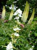 Vita högväxta blommor Fotografering för Bildbyråer