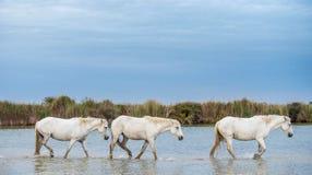 Vita hingst som går på vattnet Royaltyfria Bilder