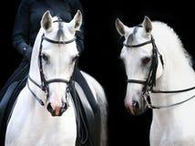 vita hingstar Royaltyfria Bilder