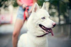 Vita Husky Puppy Eskimo Dog Staying nära den utomhus- ägaren Arkivfoto