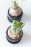 vita hyacint Royaltyfri Foto
