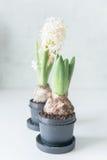 Vita hyacinter i svart kruka Arkivbilder
