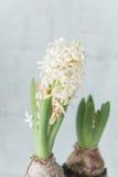 Vita hyacinter i svart kruka Royaltyfria Bilder
