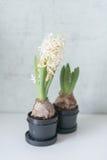 Vita hyacinter i svart kruka Royaltyfri Fotografi