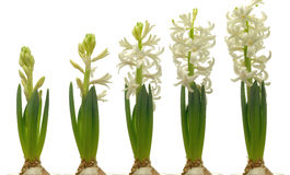 Vita Hyacinth Series Arkivfoto