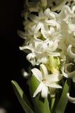 Vita Hyazinthus Arkivfoton