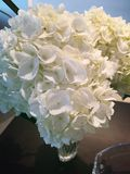 vita Hydrandrias Royaltyfri Foto