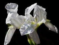 Vita Iris Flower Arkivbilder