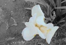 Vita Iris Flower Royaltyfri Fotografi