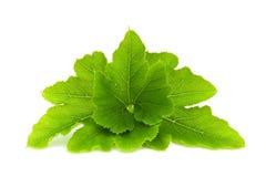 vita isolerade leaves Royaltyfria Foton