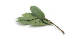 vita isolerade leaves för fjärd nya örtar Laurusnobilis Royaltyfri Fotografi