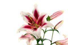 vita isolerade liljar royaltyfri fotografi