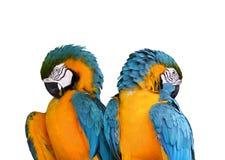 vita isolerade papegojor Arkivfoto