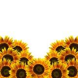 vita isolerade solrosor Arkivbild