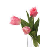 vita isolerade tulpan för pink tre Arkivbilder
