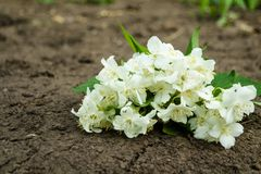 Vita jasminblommor med gröna sidor på mörk jordbakgrund Lekmanna- l?genhet, b?sta sikt, kopieringsutrymme f?r text 0 tillg?ngliga fotografering för bildbyråer