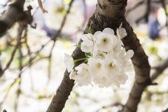 Vita körsbär-träd blomningar Arkivfoto