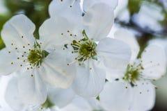 Vita körsbärblommor royaltyfri bild