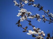 Vita körsbärsröda blommor blomstrar mot bakgrunden av en blå himmel Mycket vita blommor i solig vårdag royaltyfri foto