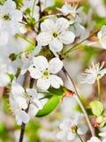 Vita körsbärsröda blomningar fattar på Arkivfoto
