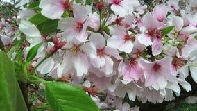 Vita körsbärsröda blomningar i brisen under våren stock video