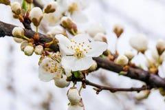 Vita körsbärsröda blomningar på en filial, en fin vårday_ Arkivbilder