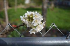 Vita körsbärsröda blomningar på ett staket Royaltyfri Foto
