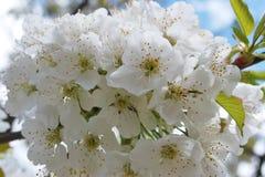 Vita körsbärsröda blomningar på träd royaltyfria bilder