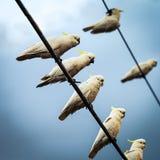 Vita kakaduor på telefontrådar Fotografering för Bildbyråer