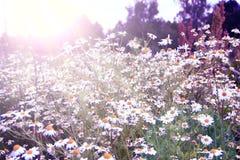 Vita kamomillar som växer i fält i soliga strålar Blom- bild för tappning blommar sepia Arkivfoto