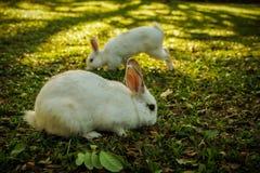 Vita kaniner går i skogen Royaltyfri Foto