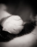 Vita katters Paw On Black Tail Royaltyfri Bild