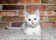 Vita kattungehererchromiaögon Royaltyfria Foton