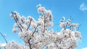 Vita knoppar av blommor i den bl?a klara himlen arkivbild