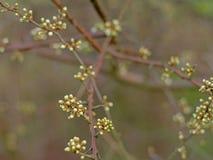 Vita knoppar för körsbärsröd blomning - Prunus Royaltyfria Foton
