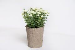 Vita konstgjorda blommor som är ordnade i mini- papp, lägger in Arkivfoto