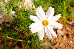 Vita Kosmeya blommor Royaltyfri Foto