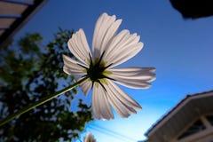 Vita Kosmeya med blå himmel Arkivfoto