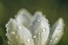 Vita kronblad som täckas med dewdroplets arkivfoton