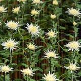 Vita krysantemum i japanskt växthus Närbild Royaltyfri Bild