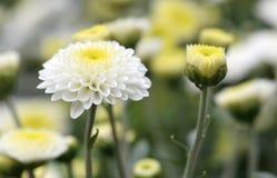 Vita krysantemum i parkera Arkivfoto