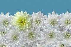 Vita krysantemum i rad Fotografering för Bildbyråer