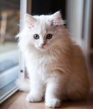Vita långhåriga Kitten Waiting på dörren Royaltyfria Foton