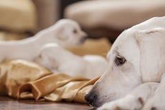Vita labrador och dess valpar royaltyfri bild