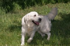Vita labrador retriever i rörelse arkivbilder
