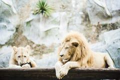 Vita lejon i fångenskap arkivfoton