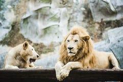Vita lejon i fångenskap royaltyfri bild
