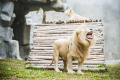 Vita lejon i fångenskap royaltyfri foto